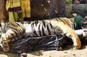 Hayvanat bahçesinden kaçan kaplan, 3 insanı ve birçok hayvanı parçaladı